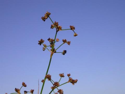 Paddenrus
