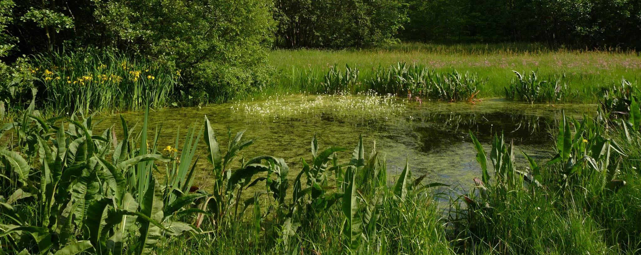 Wijgmaalbroek amfibieënpoel