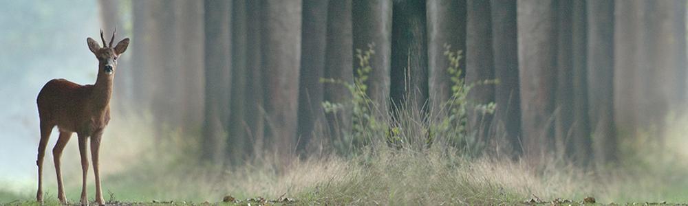 Reebok aan de rand van het bos: Foto: Ruben Saey