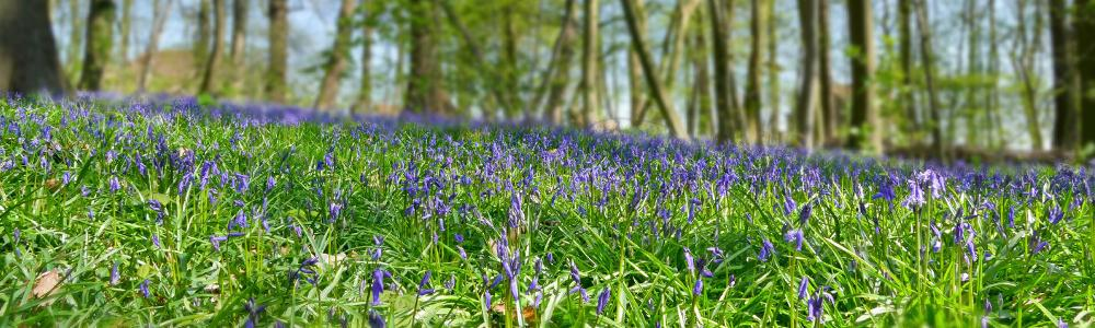 Wilde hyacinten in Tiegembos - Foto: Mia Verleye