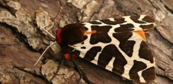 Grote Beer vlinder