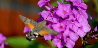 Kolibrie vlinder - Marcel Becx