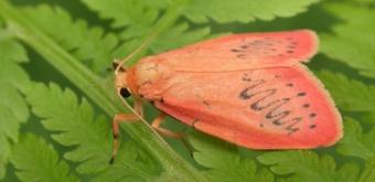 Rozenblaadje vlinder