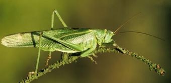 Sprinkhanen krekels natuurpunt grote groene sabelsprinkhaan altavistaventures Image collections