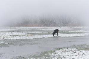 Exmoor pony in de sneeuw in de Scheldemeersen