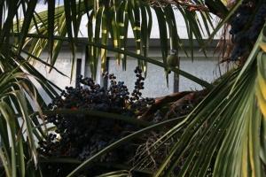Chinese windpalm met vruchten in de plantentuin in Antwerpen