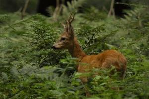 Reeën en vossen voelen zich thuis in het Keigatbos