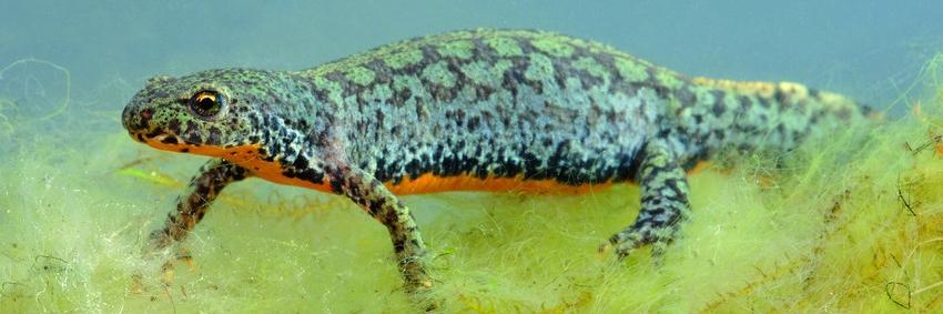 Alpenwatersalamander