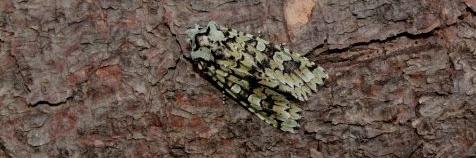 Diana-uil (Griposia aprilina)