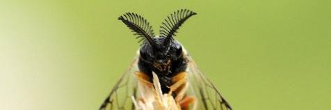 Dennenbladwespen (Diprionidae)
