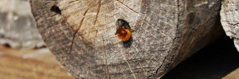 Algemene metselbijen in ons land