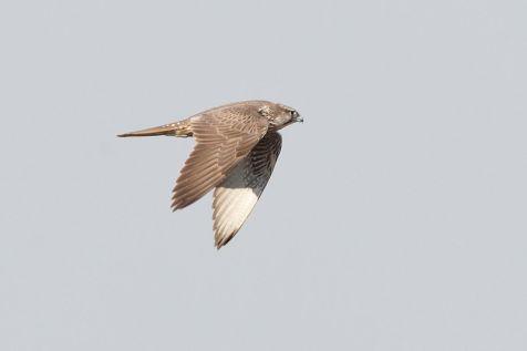 Giervalk (Falco rusticolus