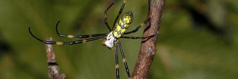 Gouden wielwebspin (Nephila sp.)