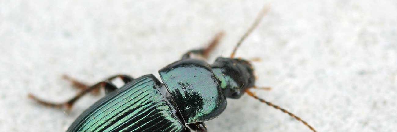Een typische 'stadskever': Harpalus affinis. De soort houdt van warmte en heeft lange vleugels.