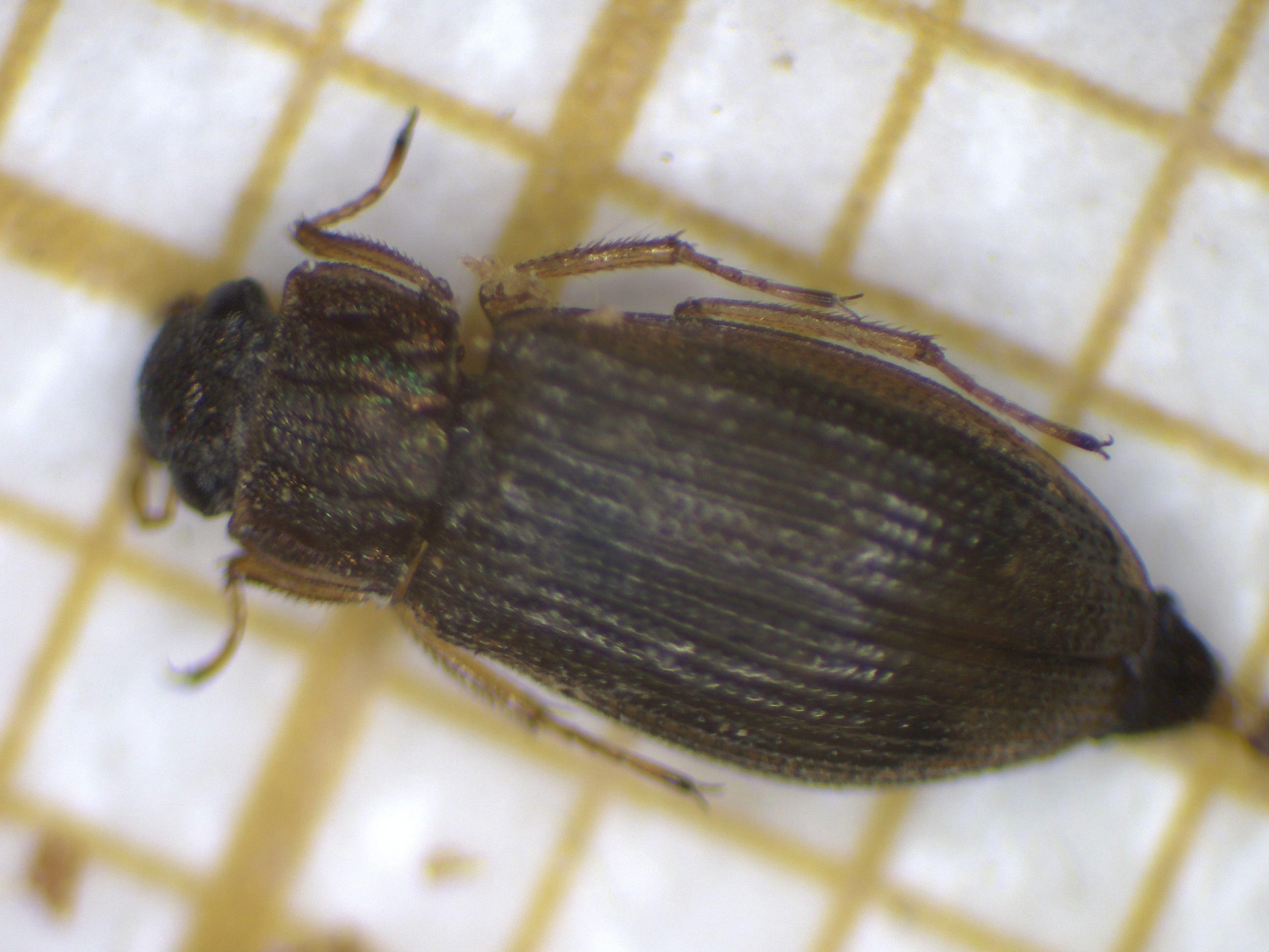 Helophorus fulgidicollis