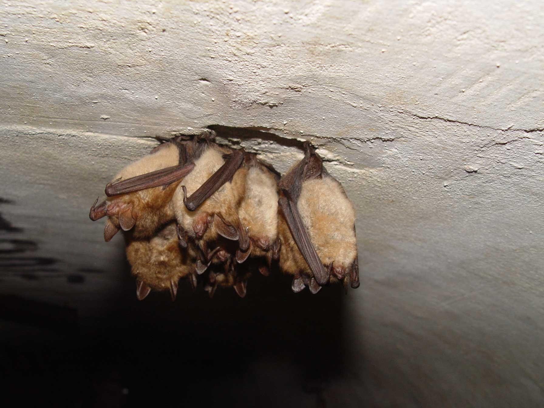 Ingekorven vleermuizen