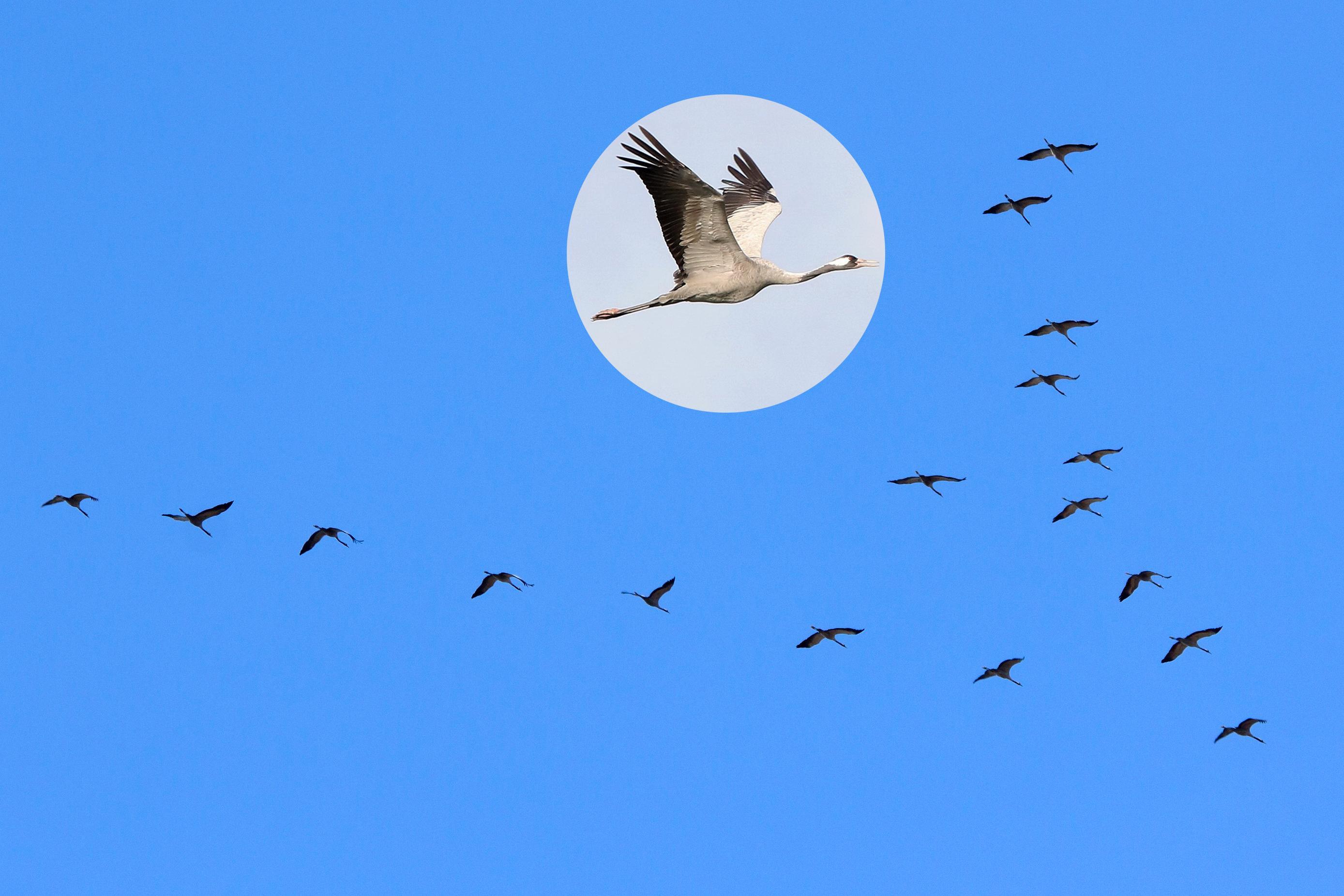 Kraanvogels - Kevin Feytons