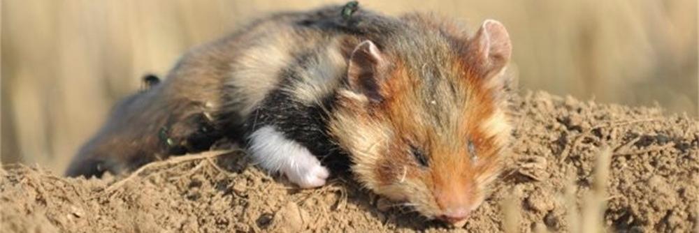 Hamster - dood