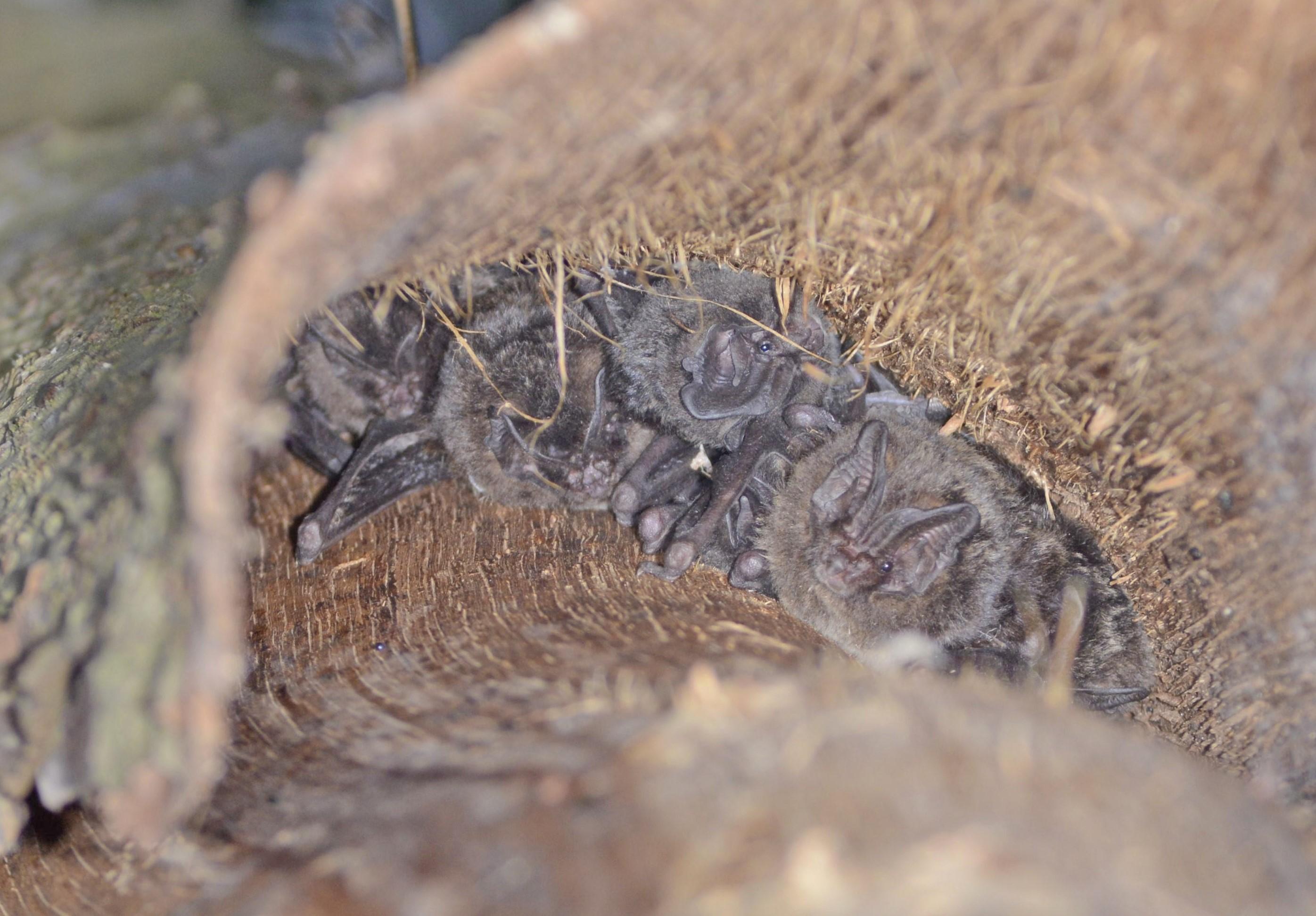 Mopsvleermuizen onder boomschors