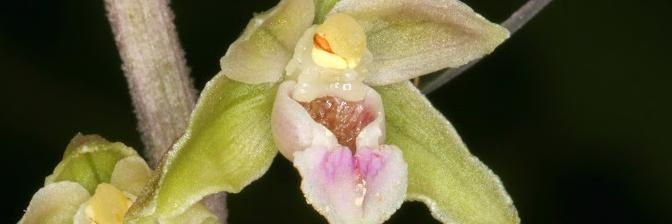 Paarse Wespenorchis