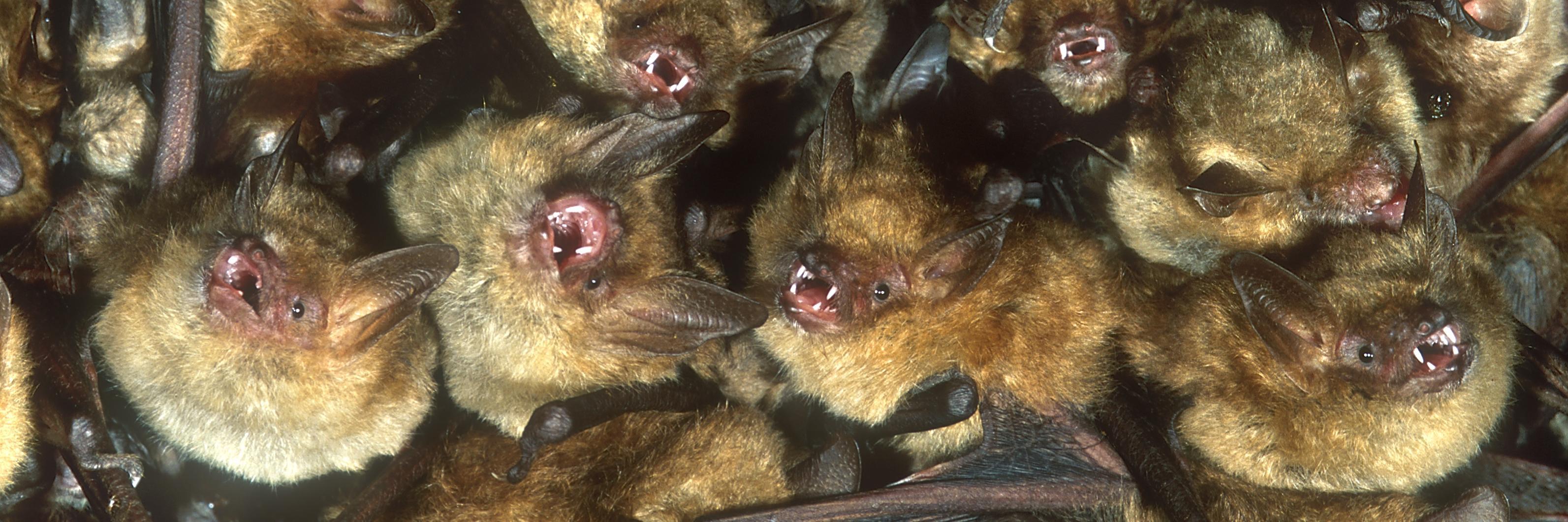 Kolonie Ingekorven vleermuizen