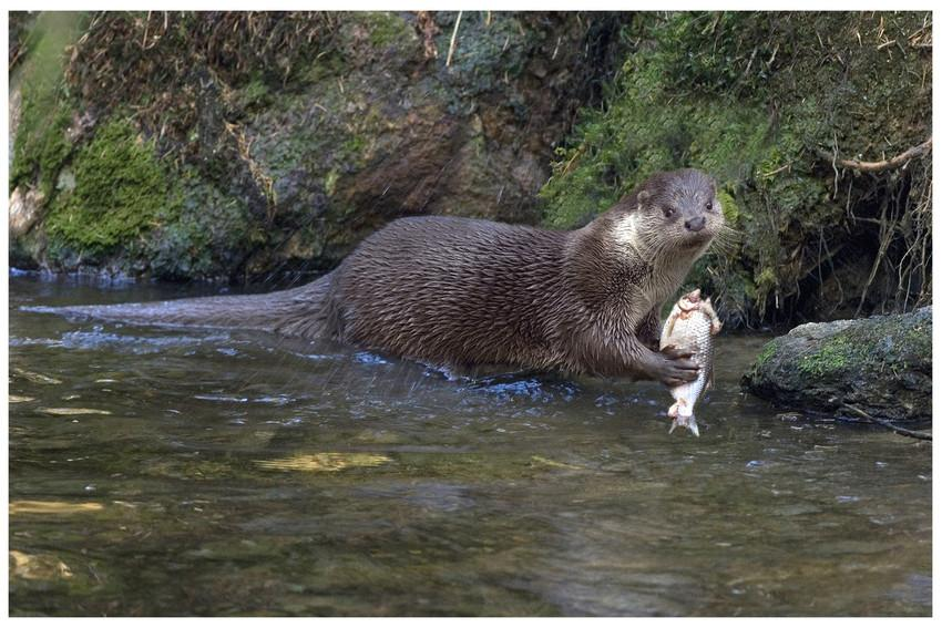 Otter (foto: François Van Bauwel)