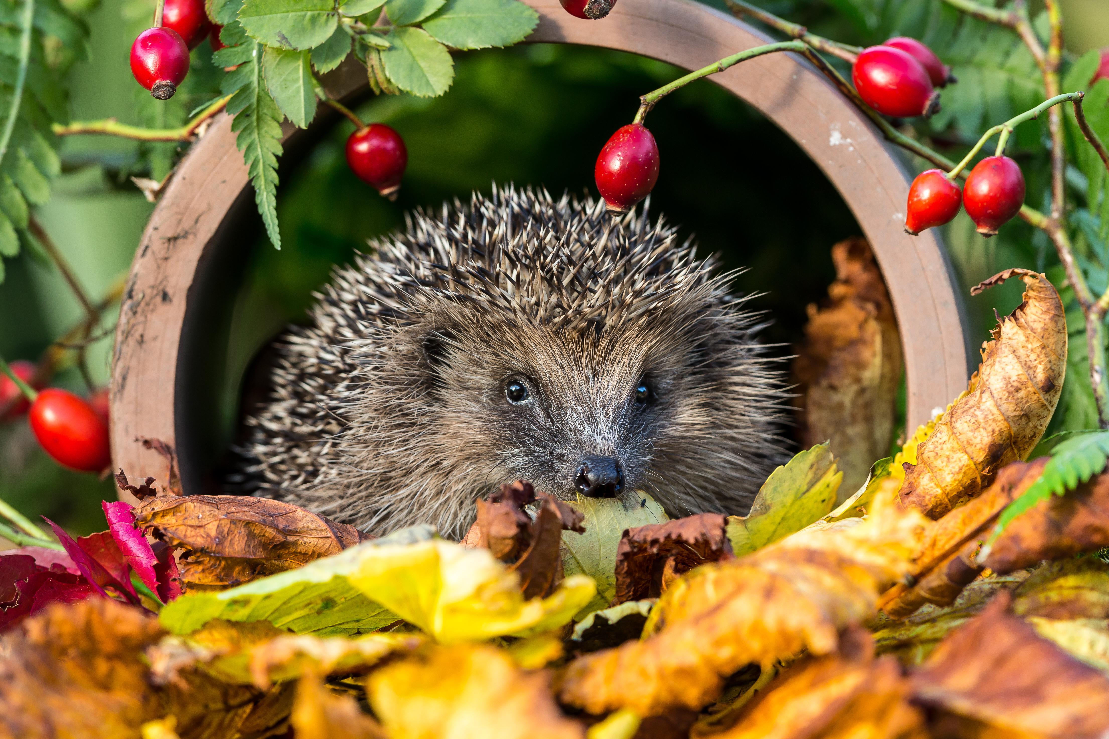 Maak een egelstraat: verbind je tuin met die van de buren door een opening in je omheining te maken - Foto: Shutterstock