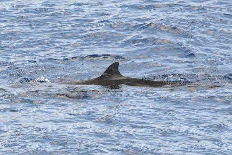 Spitssnuitdolfijn, Dolfijn van Cuvier