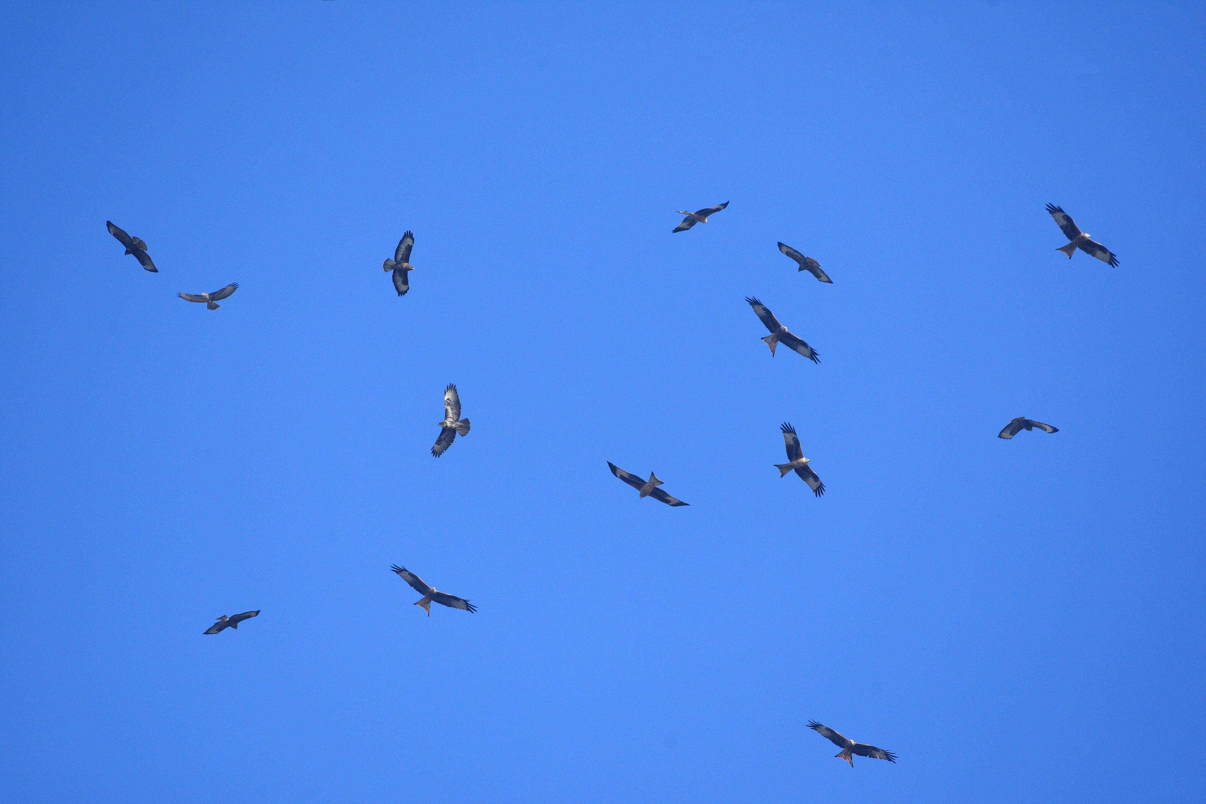 roofvogelfestival op komst?