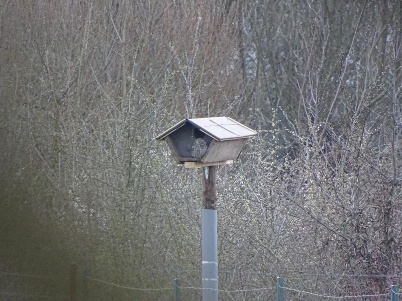 Mannetje steenuil zonnend bij een lege nestkast.