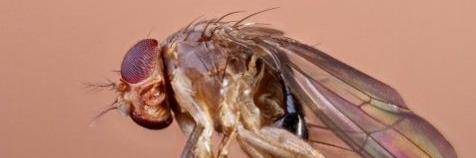 Drosophila suzukii of 'spotted-wing drosophila