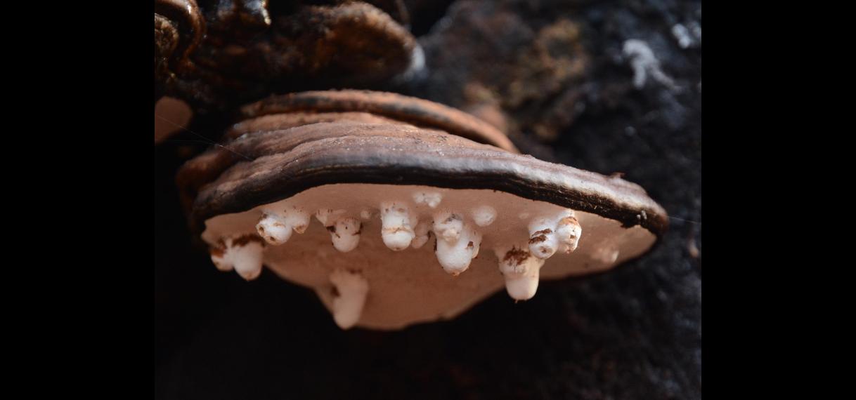 Agathomyia wankowiczi galvlieg op platte tonderzwam