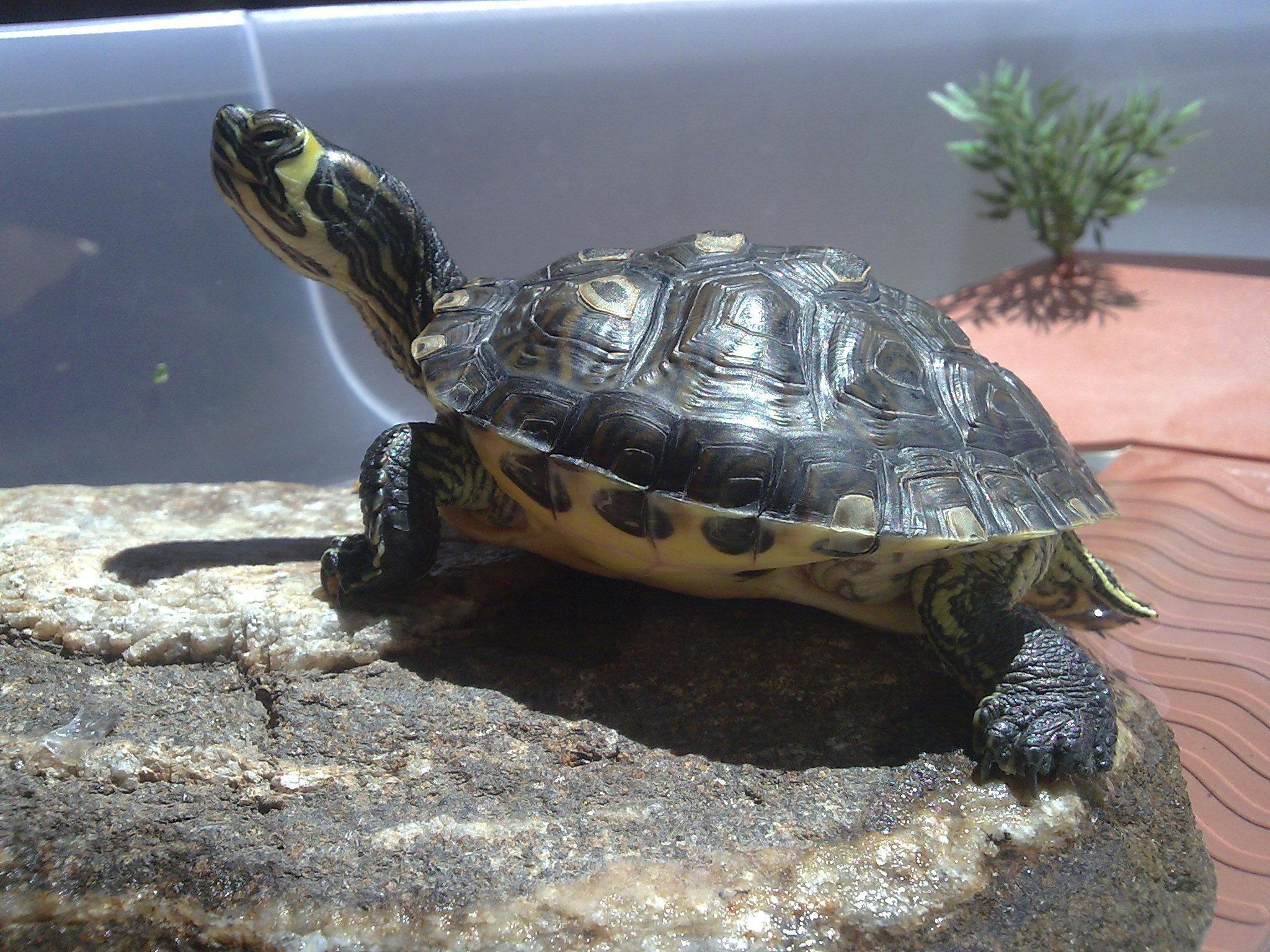 Geelbuikschildpad