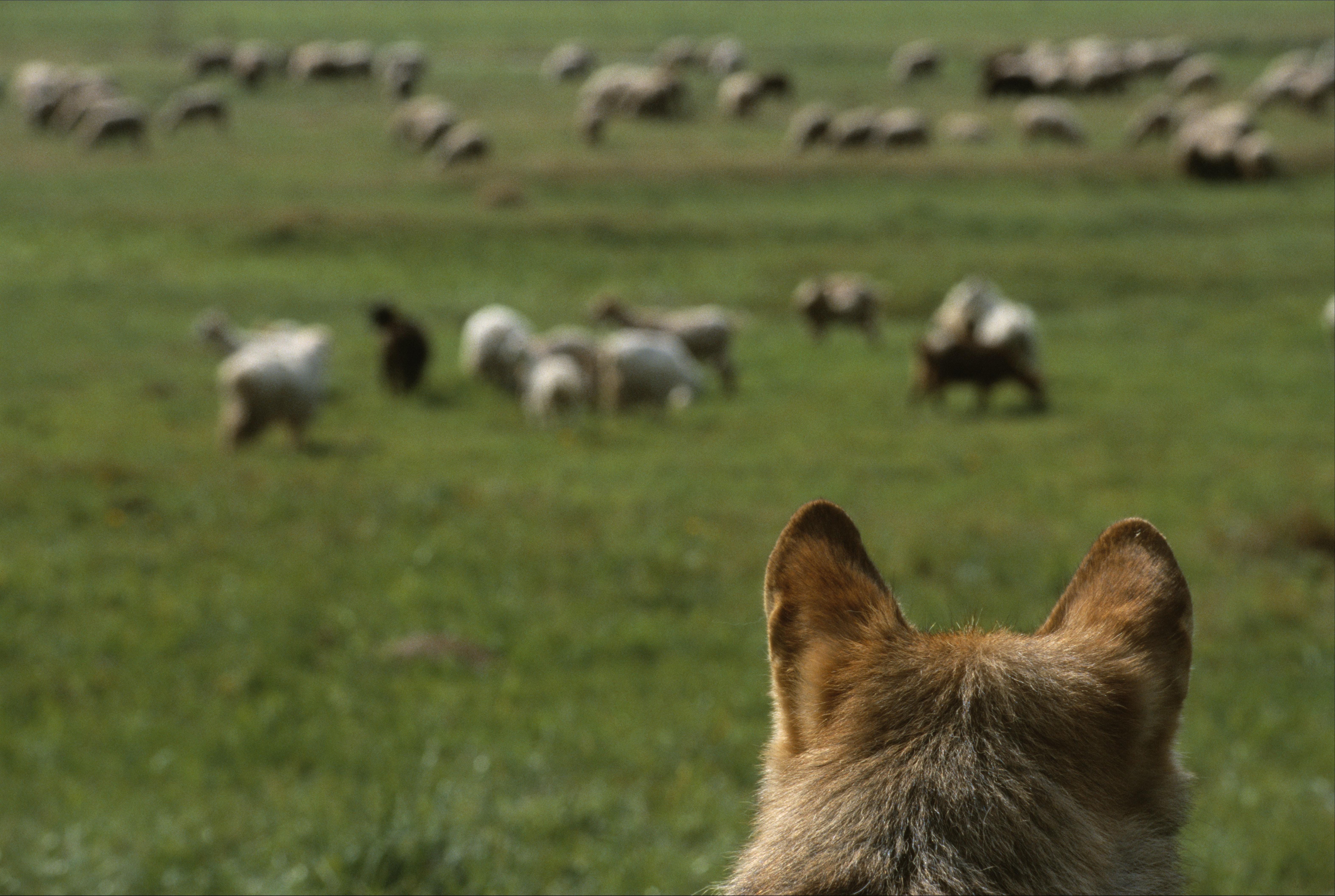 Wolf en schapen