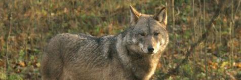 Foto van een wolf in Polen: Leo Linnartz)
