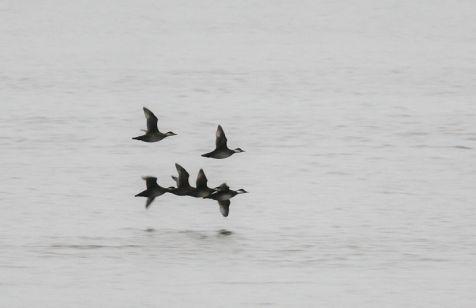 Zwarte zee-eend