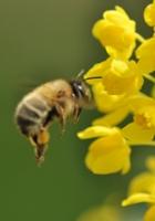 Handleiding wilde bijen fotograferen