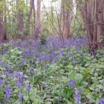 Boshyacinten bloei
