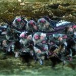 Kolonie Franjestaart