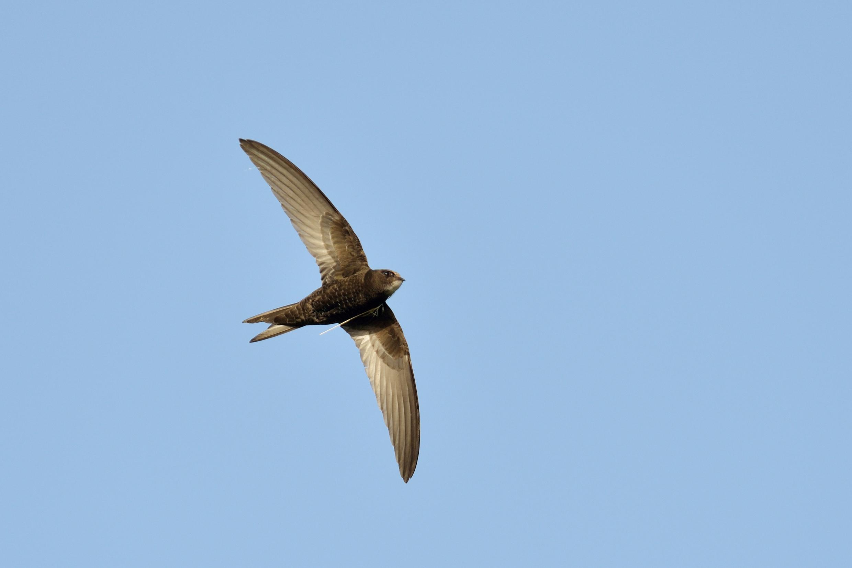 De gierzwaluw is geen zangvogel en is in feite dus geen echte zwaluw, hij is meer verwant aan de kolibries uit Amerika. In de zomermaanden laat hij zich opmerken door zijn snelle vliegwerk en typische geluid.